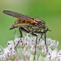 Empidid fly
