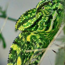 Chameleon by Manoj Kulkarni - Animals Reptiles ( nature, reptile )