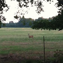 Doe, white tail deer