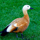 Ruddy Shelduck  / Brahminy Duck