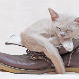 Ingenious by Mia Ikonen - Animals - Cats Kittens ( finland, sleeping, endearing, shoe, burmese,  )