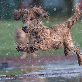 here comes the rain by Michael  M Sweeney - Animals - Dogs Running ( nikonshooter, d3, joyfull, labradoodle, joy, puppy, michael m sweeney, run, running )