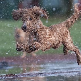 here comes the rain by Michael  M Sweeney - Animals - Dogs Running ( nikonshooter, d3, joyfull, labradoodle, joy, puppy, michael m sweeney, run, running )