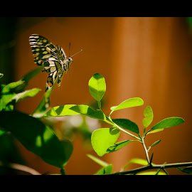 Balancing on Air  by Irfan Tayab - Nature Up Close Gardens & Produce ( flying, butterfly, nature, parangipettai, beauty, garden,  )