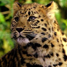 Leopard Cub by Ralph Harvey - Animals Lions, Tigers & Big Cats ( wildlife, ralph harvey, leopard, marwell zoo, animal )