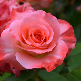 Pink bloom by Sarahkaye Ferguson - Nature Up Close Gardens & Produce ( rose, pink, beauty, close up, garden )