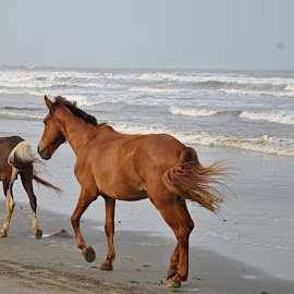 Freedom  by Emran Hossain - Animals Horses ( sea life, nature, horses, running )