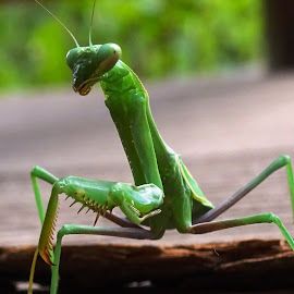 Praying on Sunday by Joyce Thomas - Animals Insects & Spiders ( mantis praying, green insect, praying mantis )