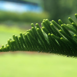 End part of a pine branch by Philipus Pirenomulyo - Nature Up Close Leaves & Grasses (  )