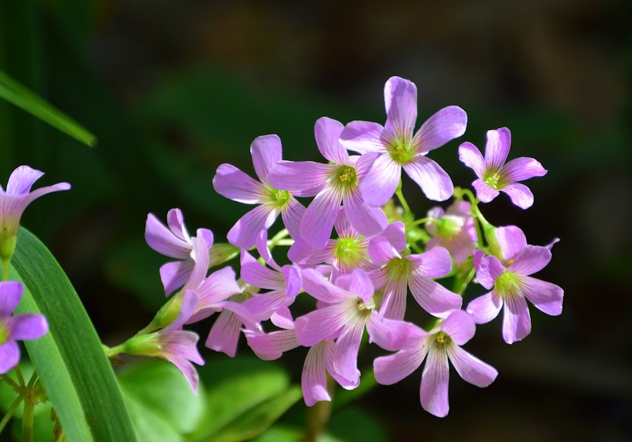 Tiny Jewels by Lew Davis - Flowers Flowers in the Wild ( plant, wild, pink flowers, grass, blooms, weed, plants, pink blossoms, bloom, lew davis, blossom, blossoms, wild flowers, grasses, pink blooms, weed blossoms, nature, pink, weeds, jewels, flowers, flower,  )