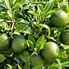 Lime  by João Pedro Loureiro - Food & Drink Fruits & Vegetables