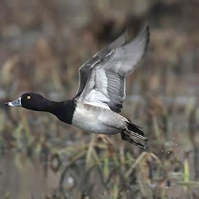 Ring-necked duck in flight by Lynda Blair - Animals Birds ( flying, flight, ringnecked, duck, pond )