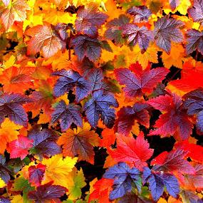 Autumn colors by Helgi Skúlason - Nature Up Close Leaves & Grasses ( iceland, autumnleaves, photoguide, helgiskulason@gamil.com, leaves )