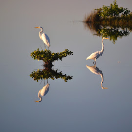 Egret Reflection by Teri Shearer-Buczkowske - Novices Only Wildlife ( refuge, reflection, wildlife, egrets, birds, , color, colors, landscape, portrait, object, filter forge )