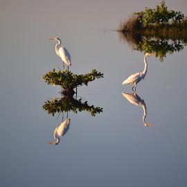 Egret Reflection by Teri Shearer-Buczkowske - Novices Only Wildlife ( refuge, reflection, wildlife, egrets, birds, , color, colors, landscape, portrait, object, filter forge )