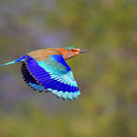 Indian Roller by Sharad Agrawal - Animals Birds ( bird, nature, udaipur, rajasthan, wildlife, india, birds, bif )