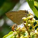 Common Guava Blue