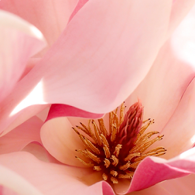 Pink by Nancy Merolle - Flowers Single Flower ( macro, single flower, south, pink, magnolia, close-up, flower, , the mood factory, mood, lighting, sassy, colored, colorful, scenic, artificial, lights, scents, senses, hot pink, confident, fun, mood factory  )