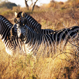 Good morning Zebra by Carol Schaer - Animals Other Mammals