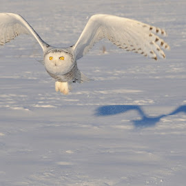 Snowy Owl by Rolland Gelly - Animals Birds ( rolland )