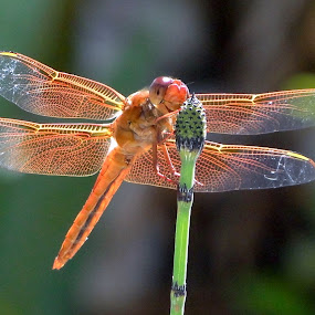 Smile by June Morris - Nature Up Close Flowers ( dragonfly nature )