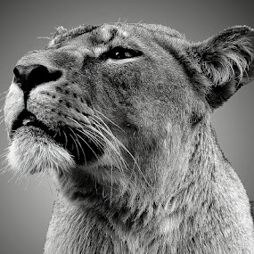 Lion by Ralph Harvey - Black & White Animals ( lion, wildlife, ralph harvey, marwell zoo, animal,  )