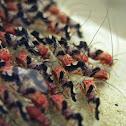 Barkflies