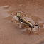 Cricket bathing