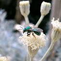 Halictid Bee.