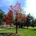 Illawarra Flame Tree. Árbol de fuego illawarra