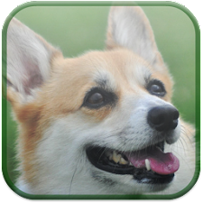 Willie The Welsh Corgi