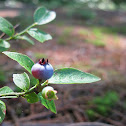 Northern Blueberry