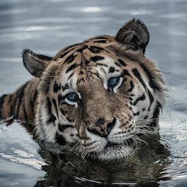 by Peter Primich - Animals Lions, Tigers & Big Cats
