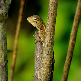 Lizard Love by Prabuddha Samaddar - Animals Reptiles ( lizard love )