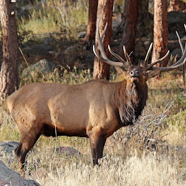 The Challenge by Kirby Hornbeck - Animals Other Mammals ( animals, antlers, elk, trees, rocks )
