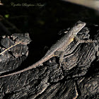 Great Basin Fence Lizard