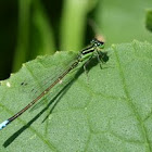 Eastern forktail