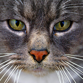 Alley cat by Gaylord Mink - Animals - Cats Portraits ( cat, whiskers, feline, nose, portrait,  )