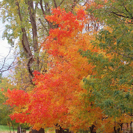 Ablaze by Tina Stevens - Nature Up Close Trees & Bushes ( orange, seasonal, green, yellow, leaves, nature street, red, season, tree, nature, ablaze, autumn, color, foliage, fall, trees,  )