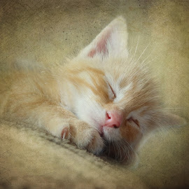 Soft Kitty by Vivian Gordon - Animals - Cats Kittens ( cat, kitten, sleeping, animal )