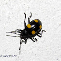 Yellow spotted Fungus Beetle