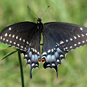 Black Swallowtail, female