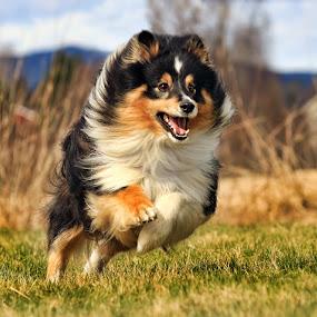 by Jane Bjerkli - Animals - Dogs Running ( playing, happy, pet, shetland sheepdog, dog, running, sheltie, animal,  )