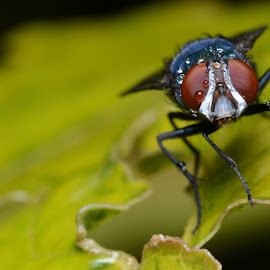 Water Drop Fly by Purna Yudha - Animals Insects & Spiders ( water, macro, fly, drop, insect,  )