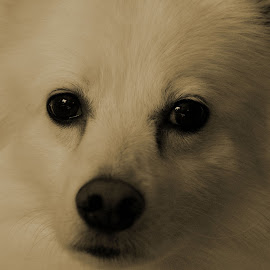 Frosty Eyes by Tony Austin - Animals - Dogs Portraits ( face, american eskimo, pet, fur, dog, eskie, eyes )