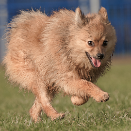 by Michael  M Sweeney - Animals - Dogs Running
