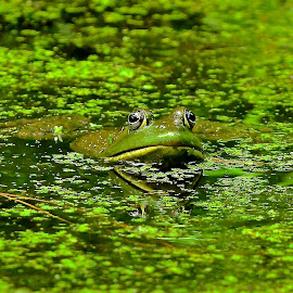 Green by Roy Walter - Animals Amphibians ( water, nature, frog, amphibian, pond, animal )