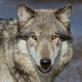 wolf portrait by Martin Belan - Animals Other Mammals ( nature, wolf, timber wolf, wildlife, wolves, wolf portrait, wolf stare,  )