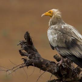 Egyptian vulture by Mukesh Chand Garg - Animals Birds