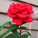 "Hybrid Tea Rose "" Miss All American Beauty"""